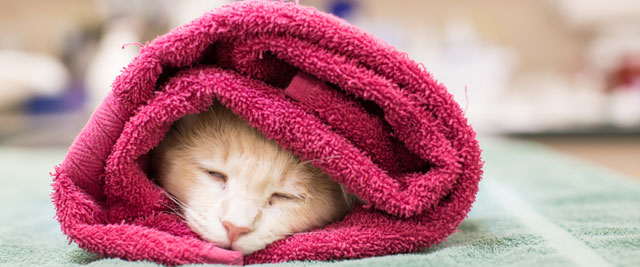 Cat wrapped in towel